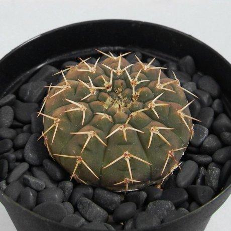 120927--Sany0126--platygonum--WR 224A--Koehres seed