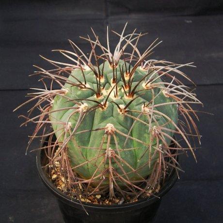 110714-Sany0113-G. spegazzinii v. punillense-VS 80--Cerro Zorrito, Salta, Argentina  1550m--Mesa seed 489.73-  -Tutiya