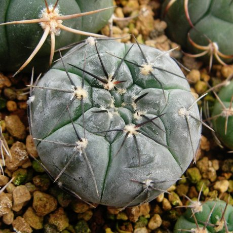 100706-Sany0064-berchti-VS 161--Los Chanares, San Luis, Arg-Koehres seed-kousenen