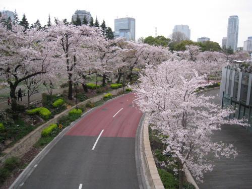 東京ミッドタウンの桜♪