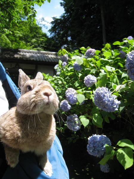 紫陽花、きれいだね~♪