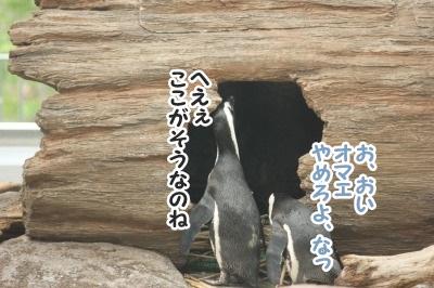 ペンギン12