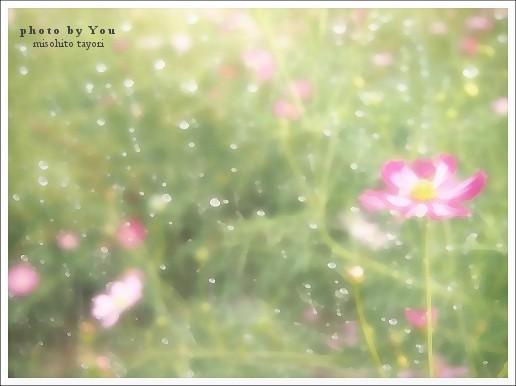 秋桜 【写真短歌】
