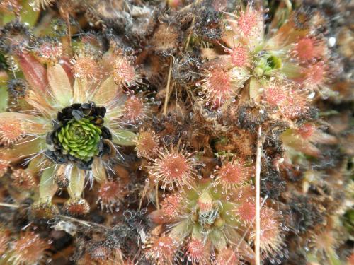 ピグミードロセラ植え替え2