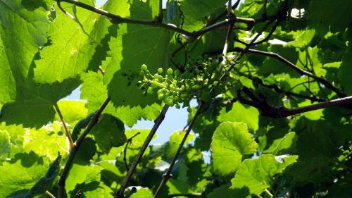 小石川 メンデルのブドウ