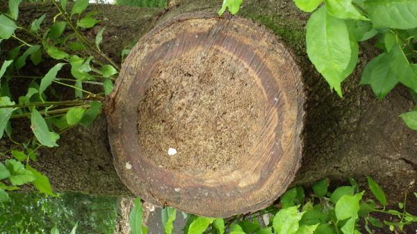 サクラの木の切り株