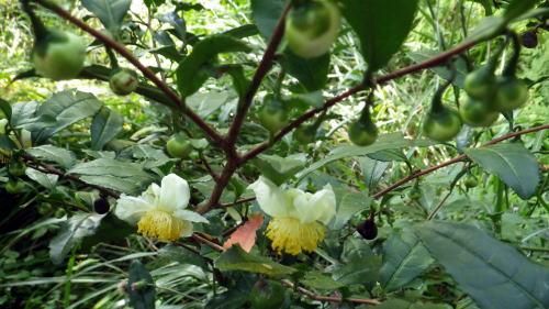 自然 茶の木