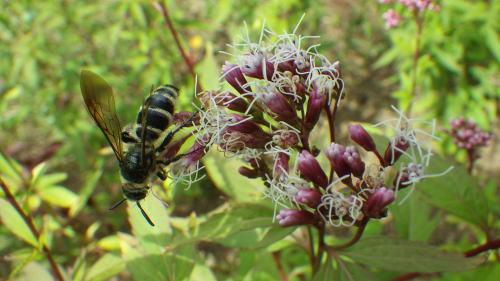 フジバカマ とハチ