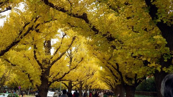 外苑いちょう並木 真っ黄色のいちょう