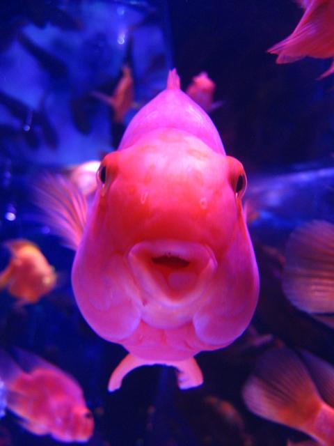 金魚 027