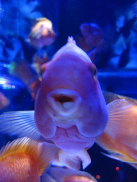 金魚 029