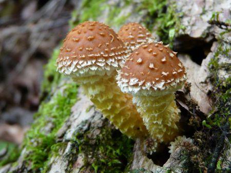 キノコ幼菌