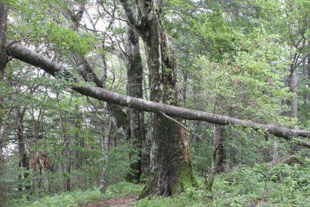 ブナ巨木林