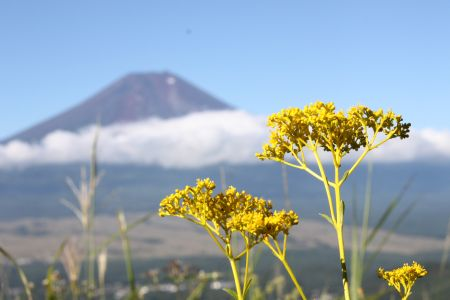 オミナエシと富士山
