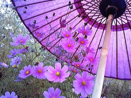 コスモスと小番傘