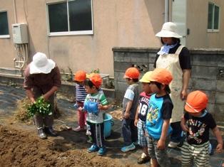 芋苗植え1