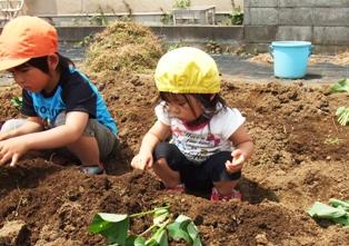 芋苗植え3