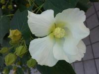 フヨウの花