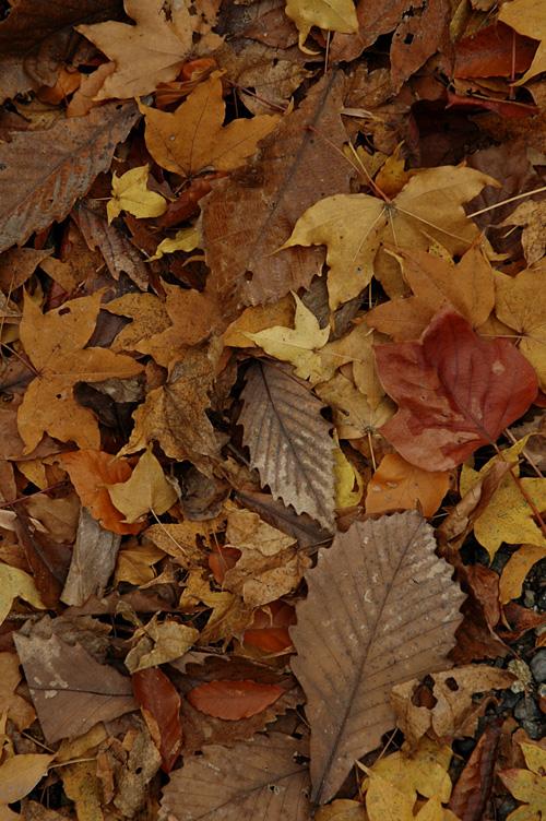 fallen leaves12_11_28_1