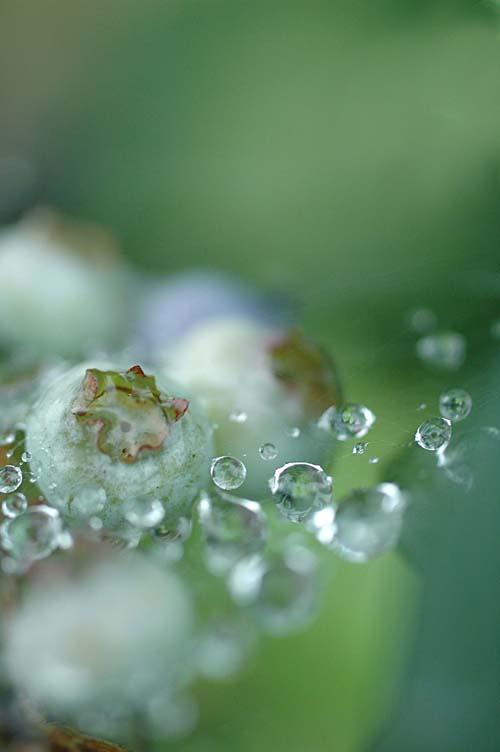 blueberry_12_7_6_1.jpg