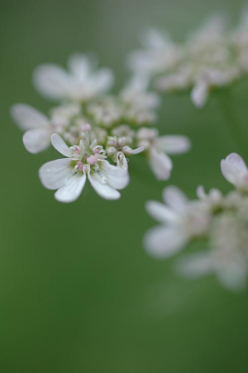 coriander_2.jpg