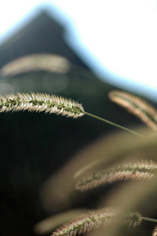 エノコログサ