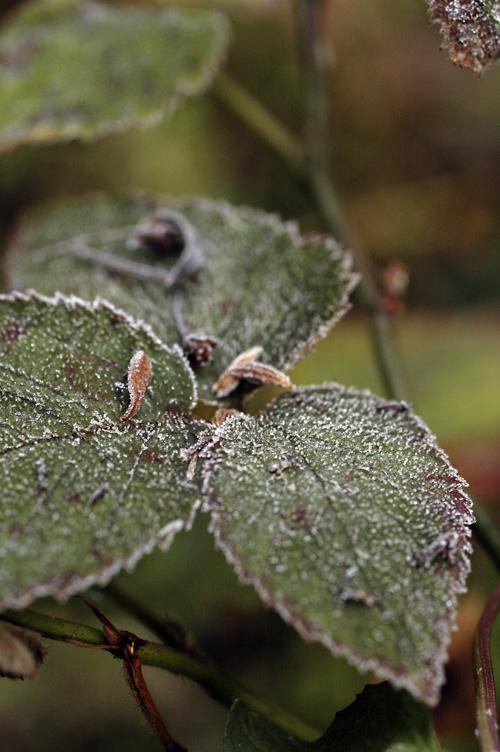 frost_12_12_14_6.jpg