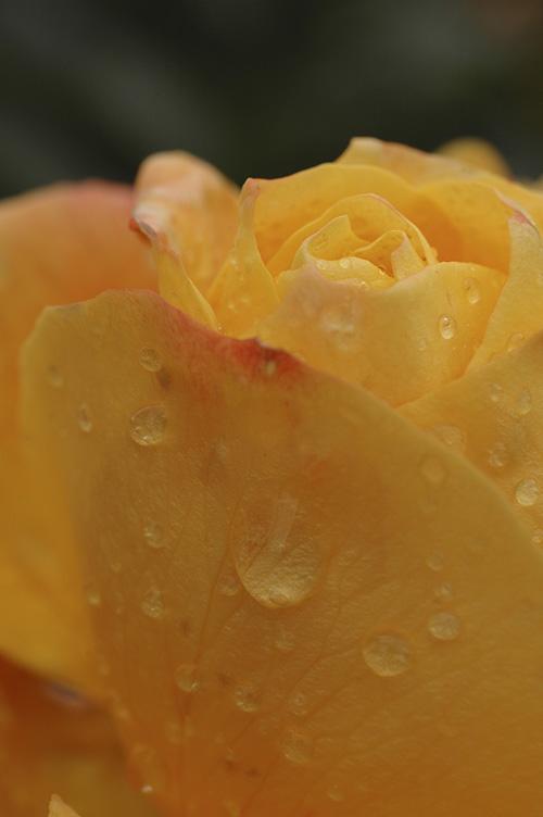 rose_12_11_28_3.jpg