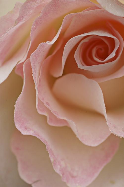 rose_12_11_28_5.jpg