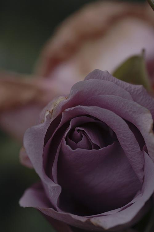 rose_12_11_28_7.jpg