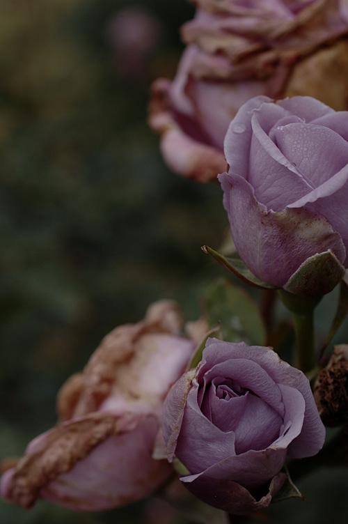 rose_12_11_28_8.jpg