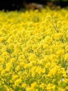 菜の花132975688[1]