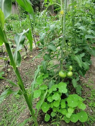 tomatoesandcorns