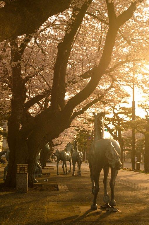 20120501-官庁街の桜1