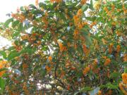 キンモクセイの樹