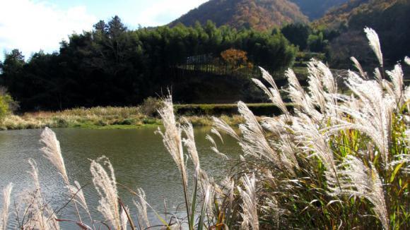 池のほとりのススキ