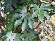 ヤツデの葉