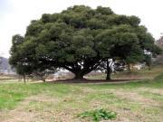 この木なんの木 椎の木