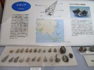 ビカリアの化石とその解説