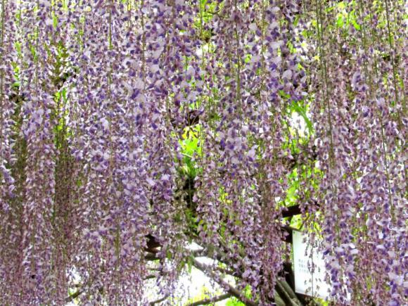 一般的な藤の花