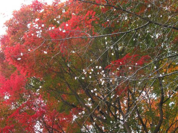 四季桜 その1