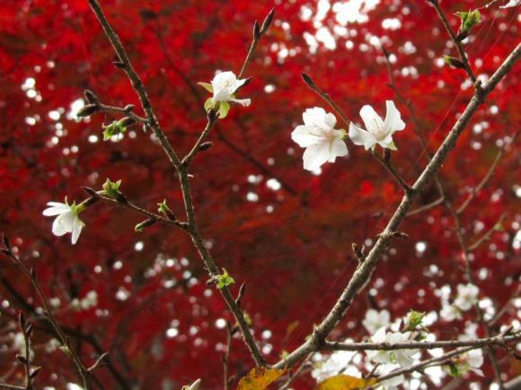 四季桜 その2