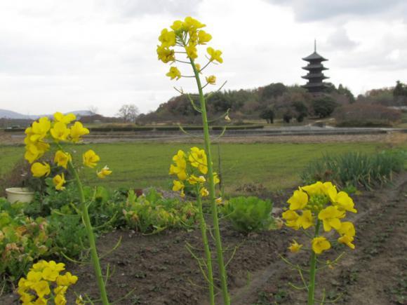 アブラナ科の花と五重塔