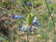花が散り雌しべが肥大してきています