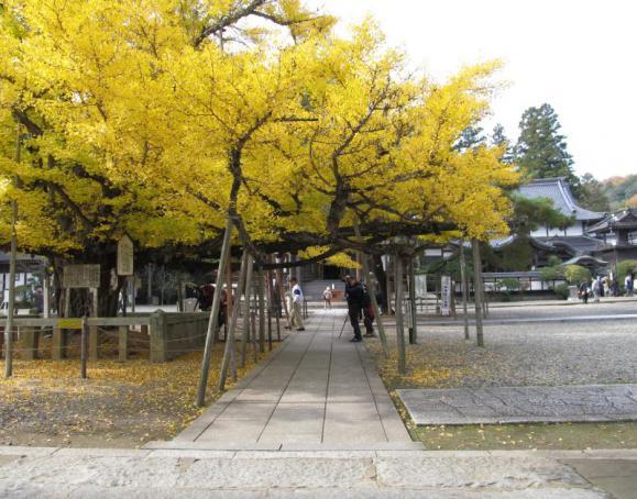 境内入ってすぐにある逆木の公孫樹