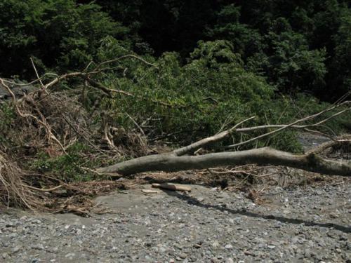 大きな樹がなぎ倒されて07