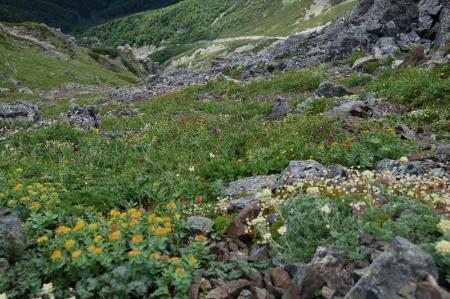 79北岳のお花畑