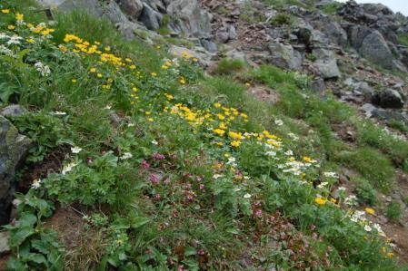 81北岳のお花畑