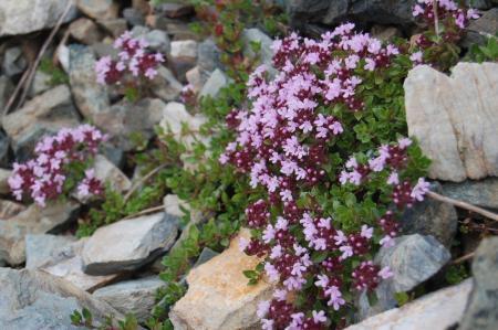 82北岳のお花畑