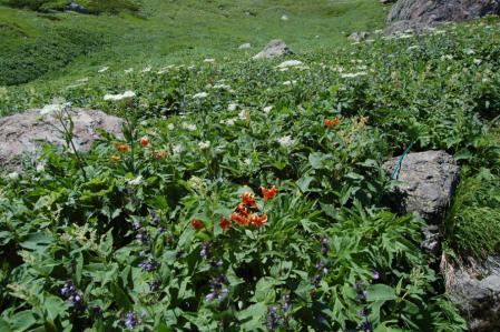 23小雪渓付近のお花畑